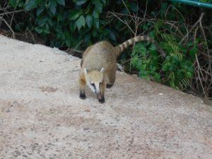 ブラジル側のイグアス国立公園内のハナグマ
