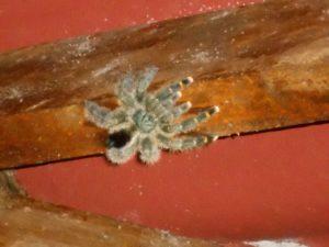宿泊したバンガローの屋根を歩く毒蜘蛛