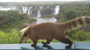 ブラジル側イグアス国立公園内のハナグマ②