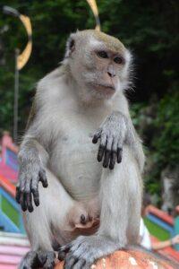 バトゥ洞窟の野生の猿
