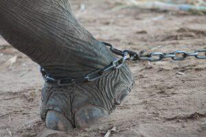 鎖につながれたゾウ