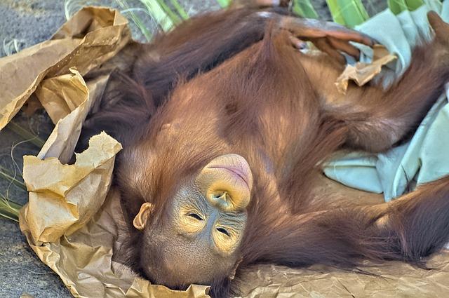 キナバル自然公園に生息する絶滅危惧種の「オランウータン」