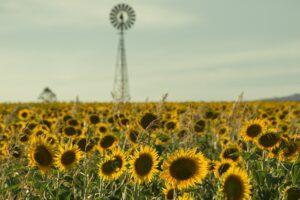 クイーンズランド州のひまわり畑②