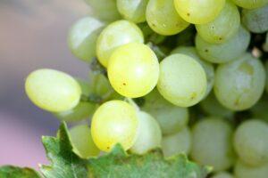 オーストラリアの葡萄