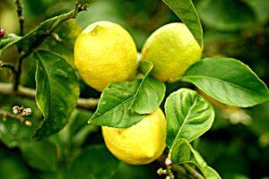 南オーストラリア州のレモン