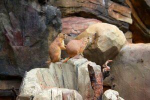 ソウル動物園の「プレーリードッグ」